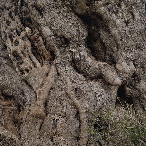 Un ulivo secolare vicino Masseria Visciglito