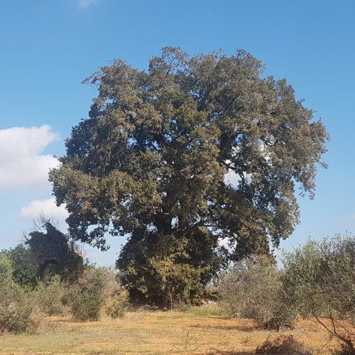 Un imponente quercia tra Alezio e Taviano