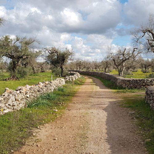 Un sentiero fra i muretti a secco e gli ulivi